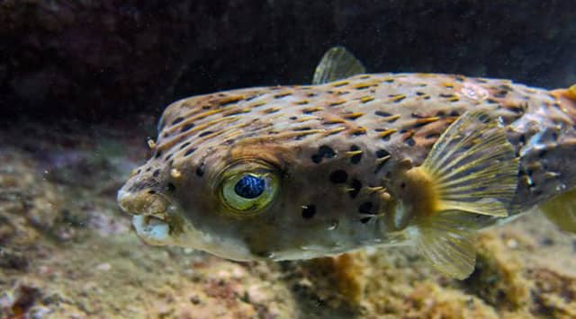 Tetraodontidae / Pufferfish